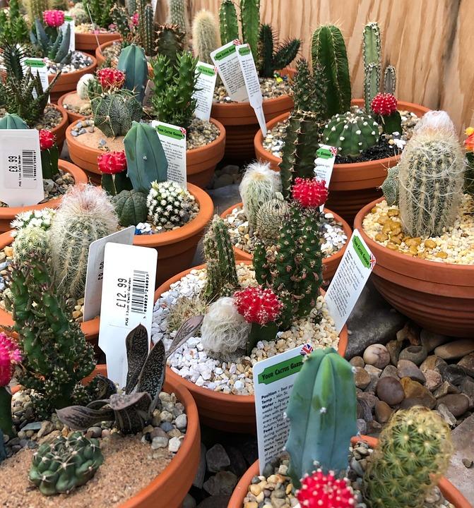 Cactus, Garden, Beauty, Flower, Succulent, Nature