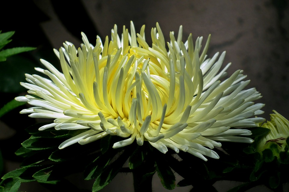 Flower, Aster, Garden, Nature, Summer, Blooming
