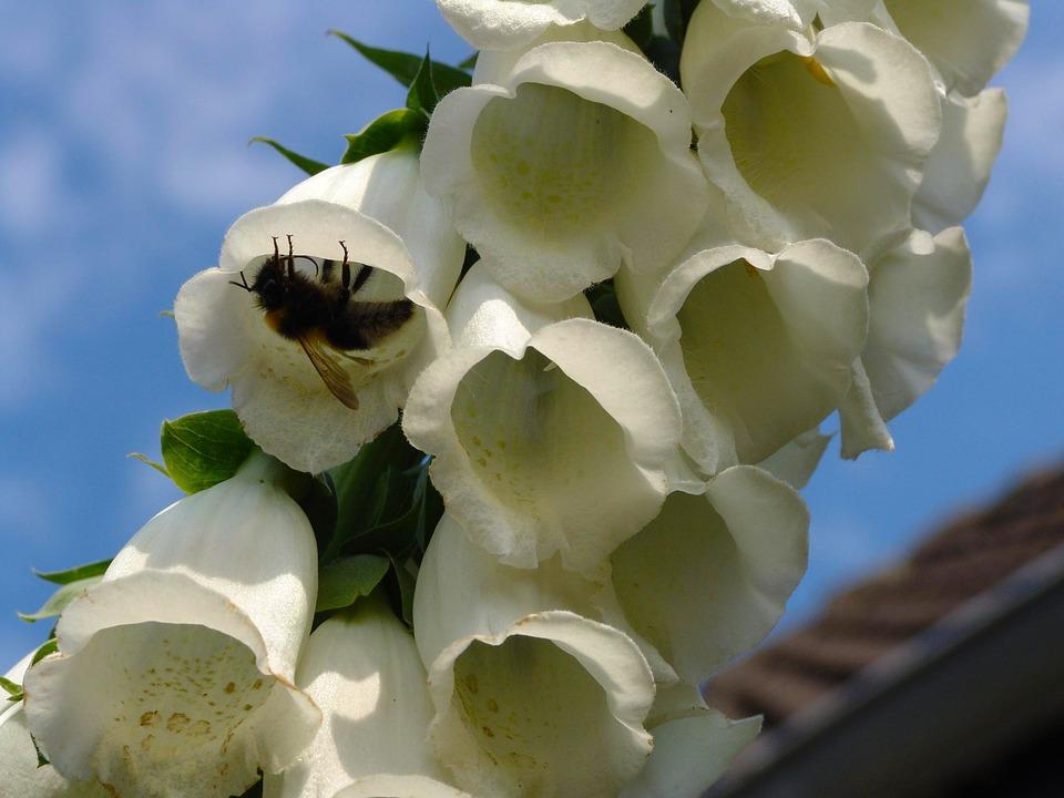 Thimble, Garden, Plant, Close, Nature, Flowers, White