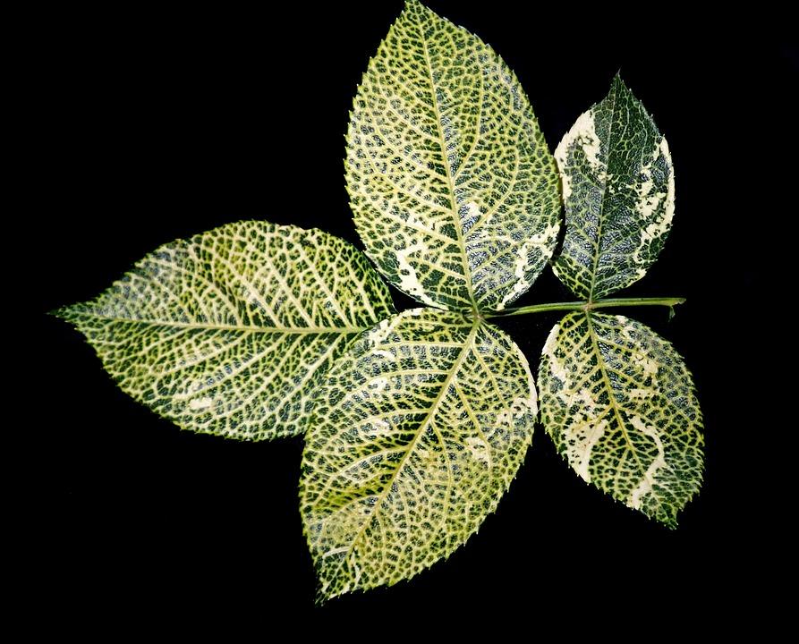Leaves, Foliage, Rose, Nitrogen Deficiency, Garden