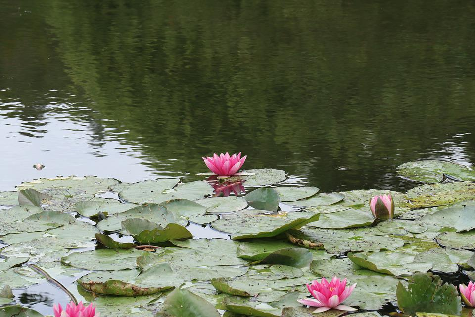 Nympheas, Giverny, Monet, Nature, Plant, Water, Garden