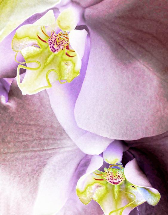 Orchid, Phalaenopsis, Flower, Plant, Garden, Macro