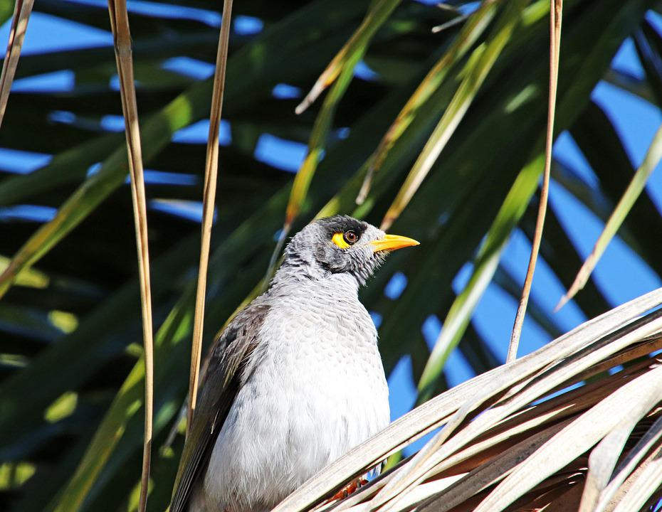 Bird, Noisy Miner, Wildlife, Palm Tree, Garden, Nature