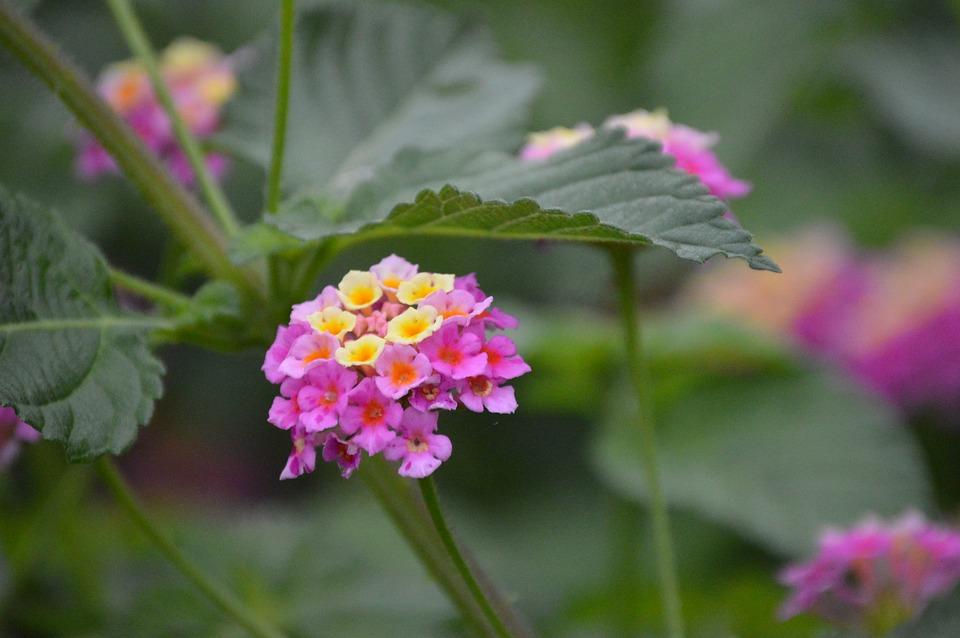 Lantanas, Flowers, Garden, Petals, Pink Flowers