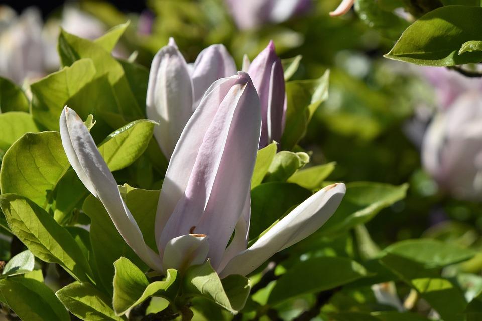 Leaf, Nature, Plant, Flower, Garden, Magnolia, Petals