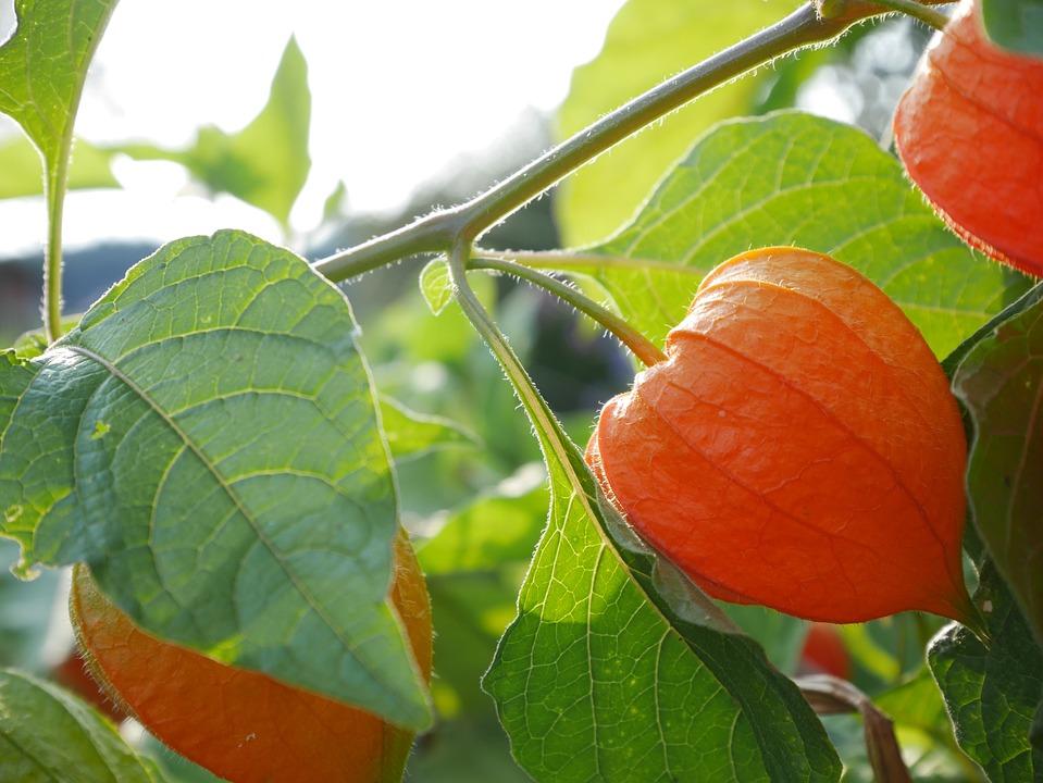Physalis, Plant, Fruit, Garden, Natural, Nature, Leaves