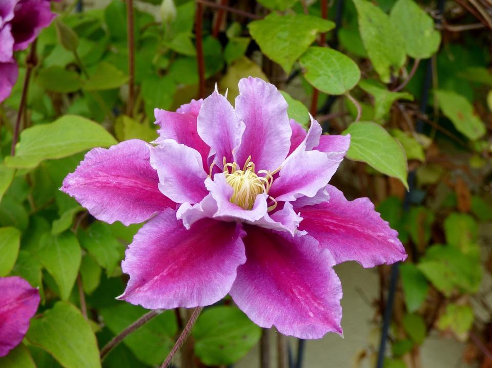 Flower, Pink, Bloom, Garden
