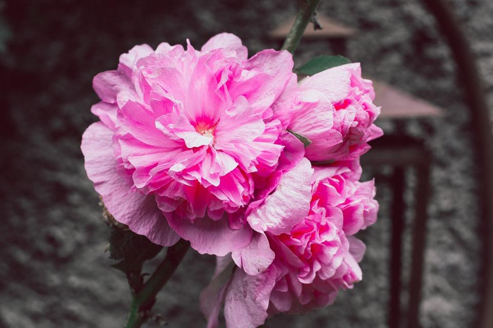 Stock Rose, Garden, Flower Garden, Pink, Flower