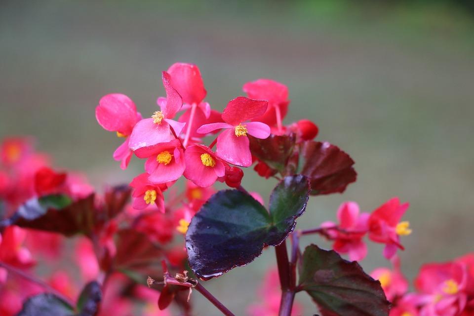 Begonias, Flowers, Pink Flowers, Garden, Petals
