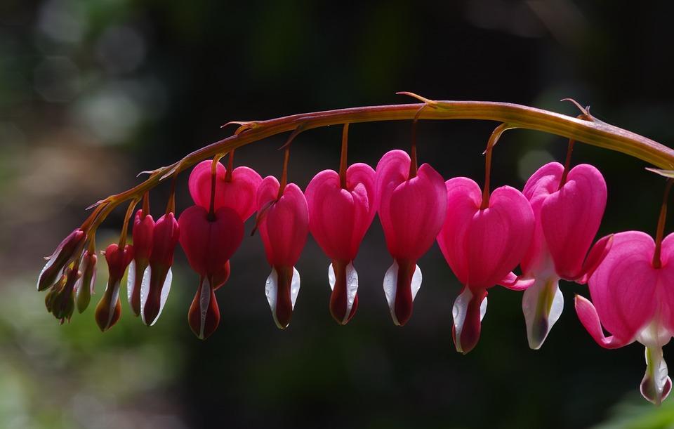 Bleeding Hearts, Hearts, Pink, Flower, Garden, Love