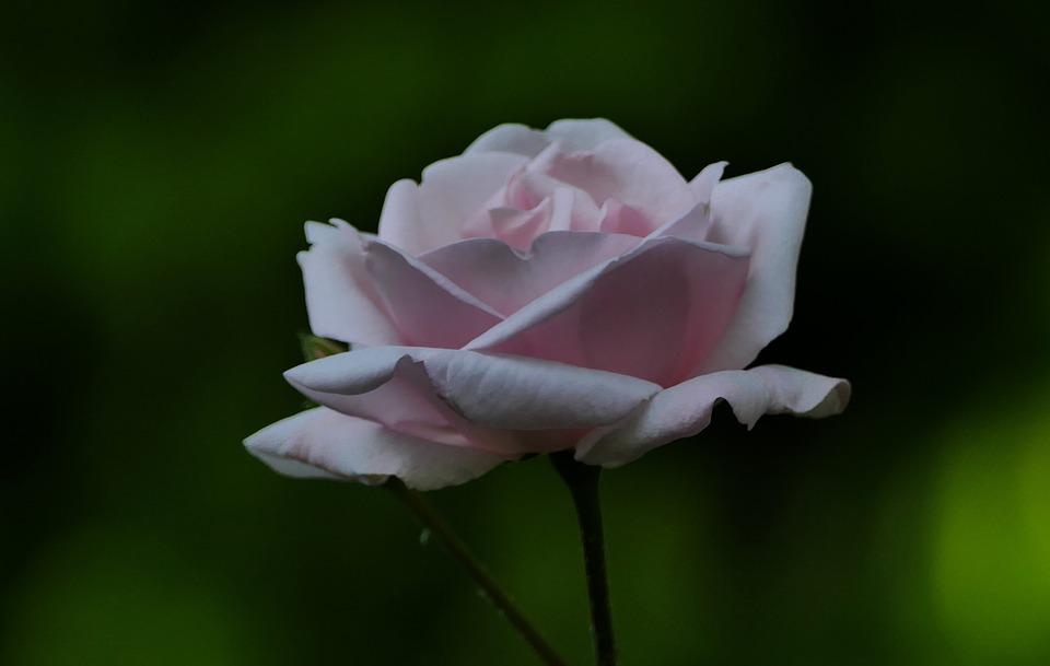 Nature, Garden, Rose, Pink, Flower