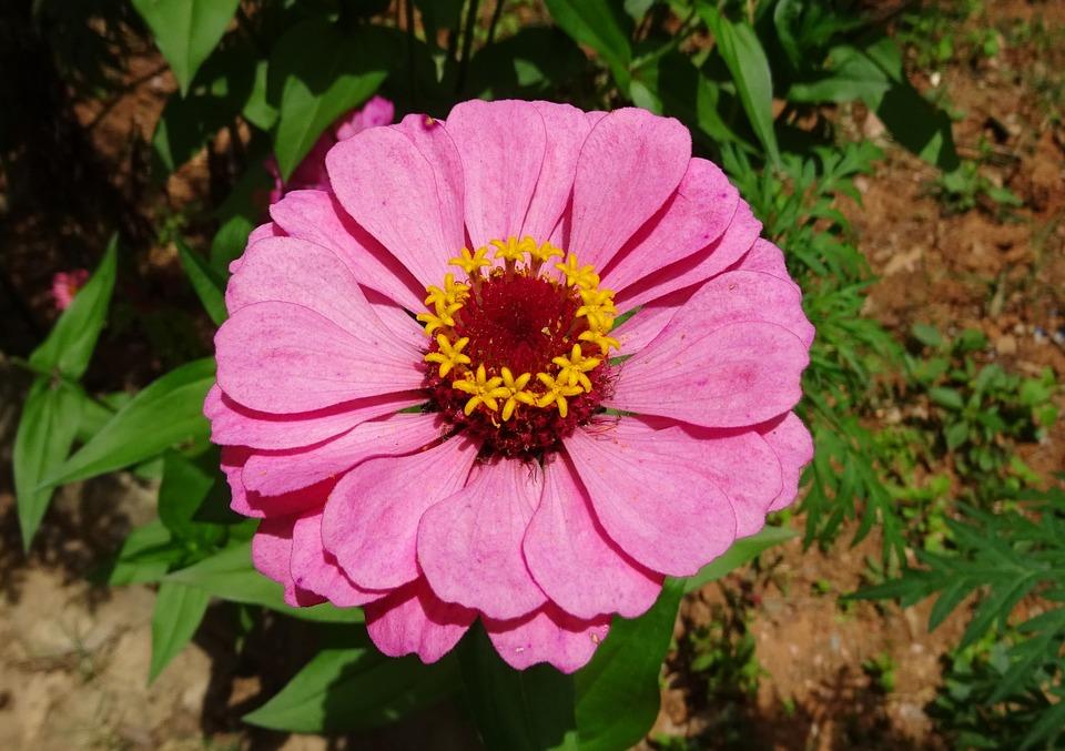 Zinnia, Flower, Pink, Flora, Plant, Garden, Bloom