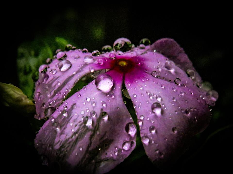 Periwinkle, Flower, Rain, Monsoon, Garden, Pink, Purple