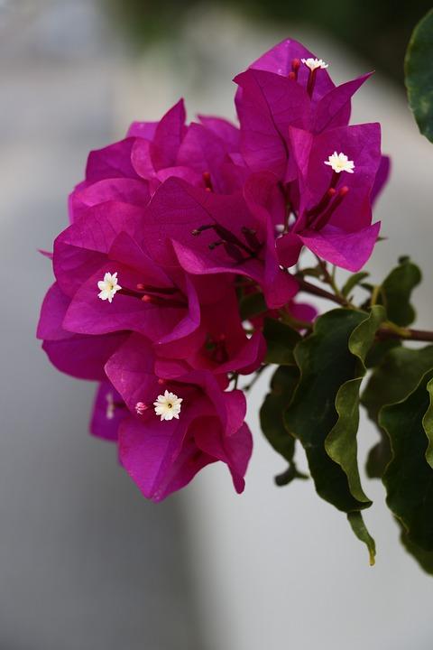 Blossom, Bloom, South, Mallorca, Pink, Garden