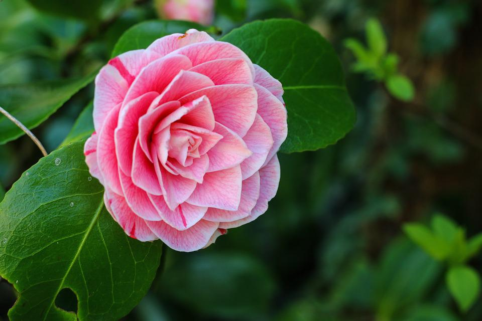 Free Photo Garden Pink Spring Nature Flower Shrub Camelia Max Pixel