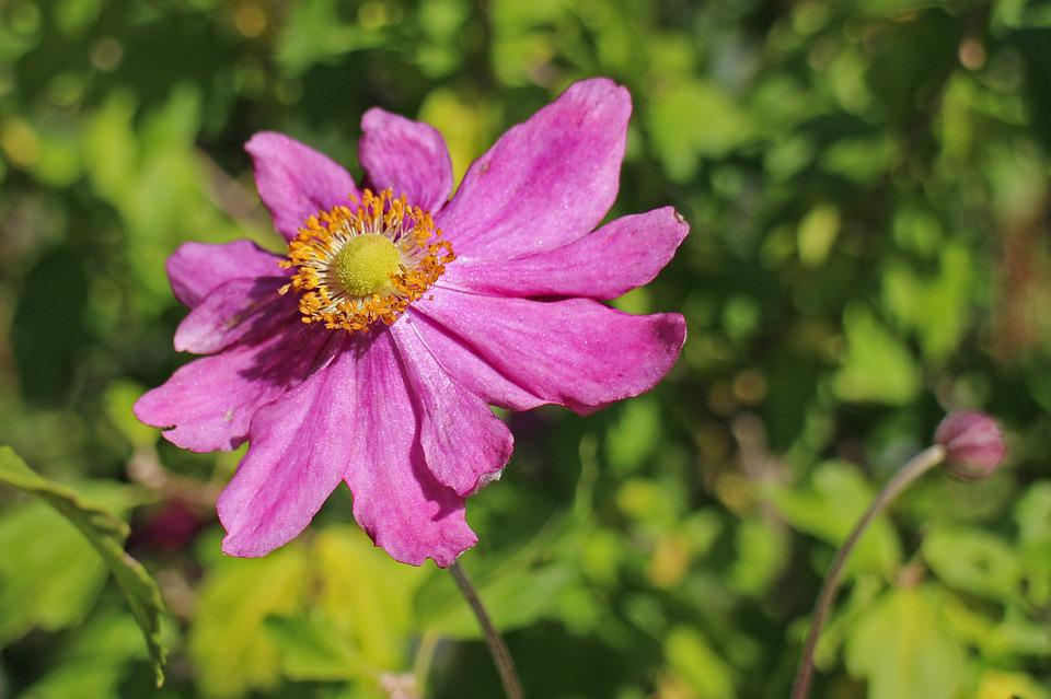 Anemone, Fall Anemone, Garden Plant, Bloom, Autumn