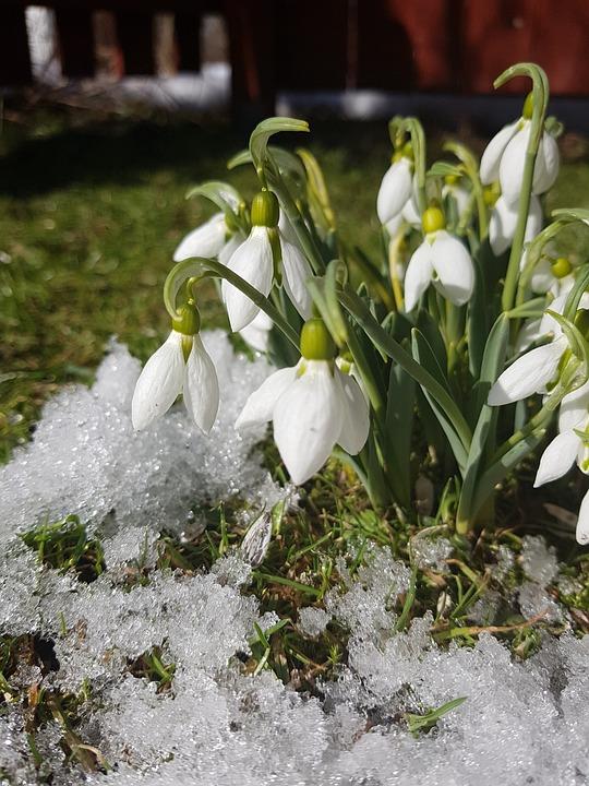 Flower, Nature, Plant, Garden, Floral, Snowdrops