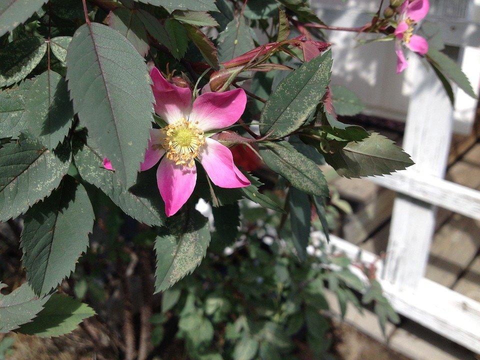 Flower, Pink, Garden Plant, Ornamental Plants