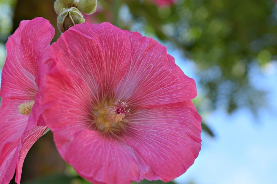 Flowers, Pink, Pink Flowers, Petunia, Garden Plant