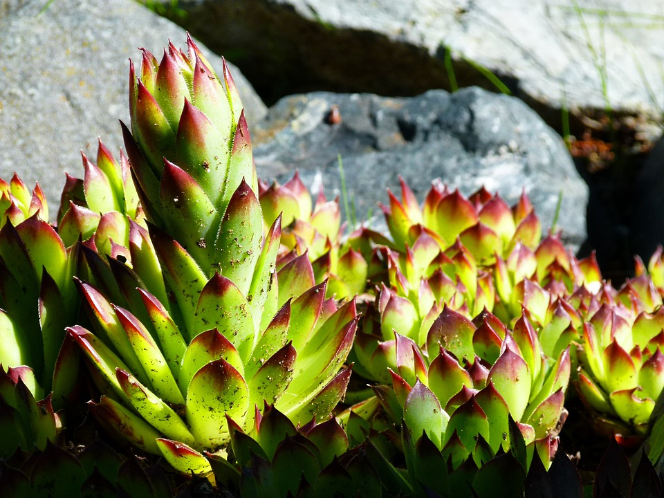 Hens And Chicks Succulent, Plant, Nature, Garden