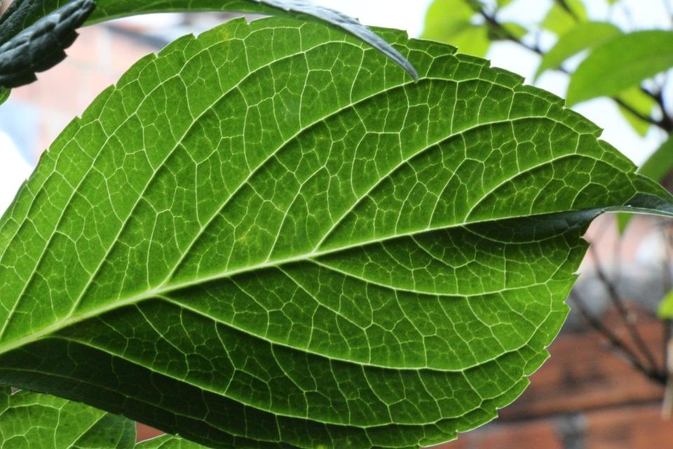 Leaf, Hortensia, Flower, Plant, Garden, Summer, Color