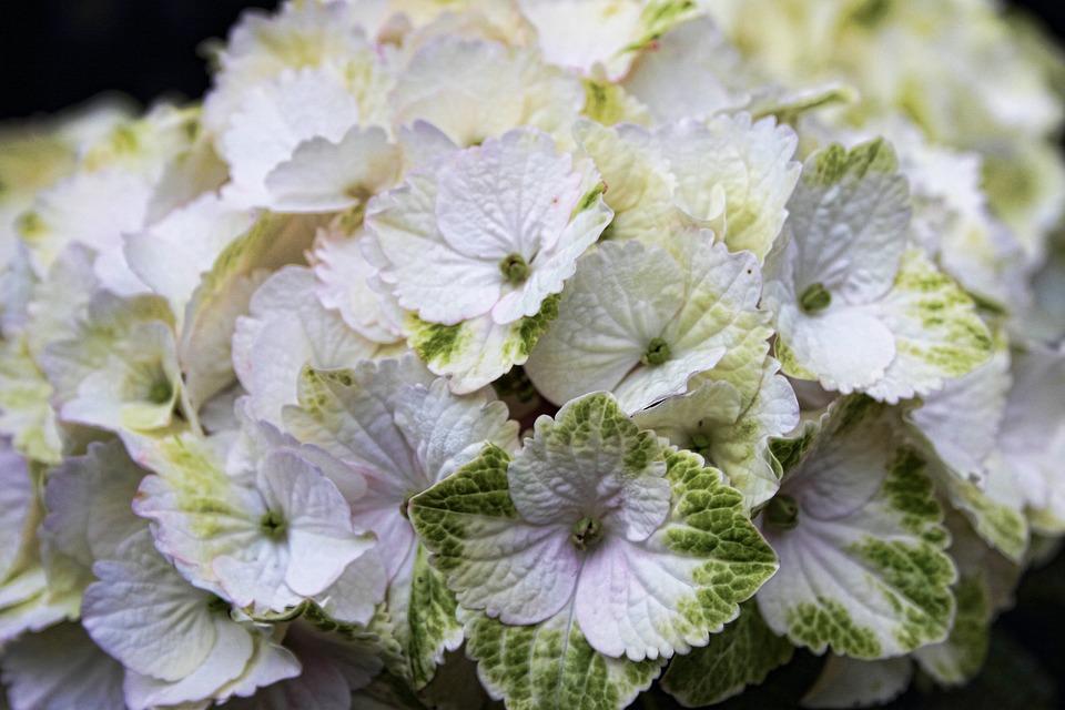 Hydrangea, Flower, Flowers, White, Garden Plant