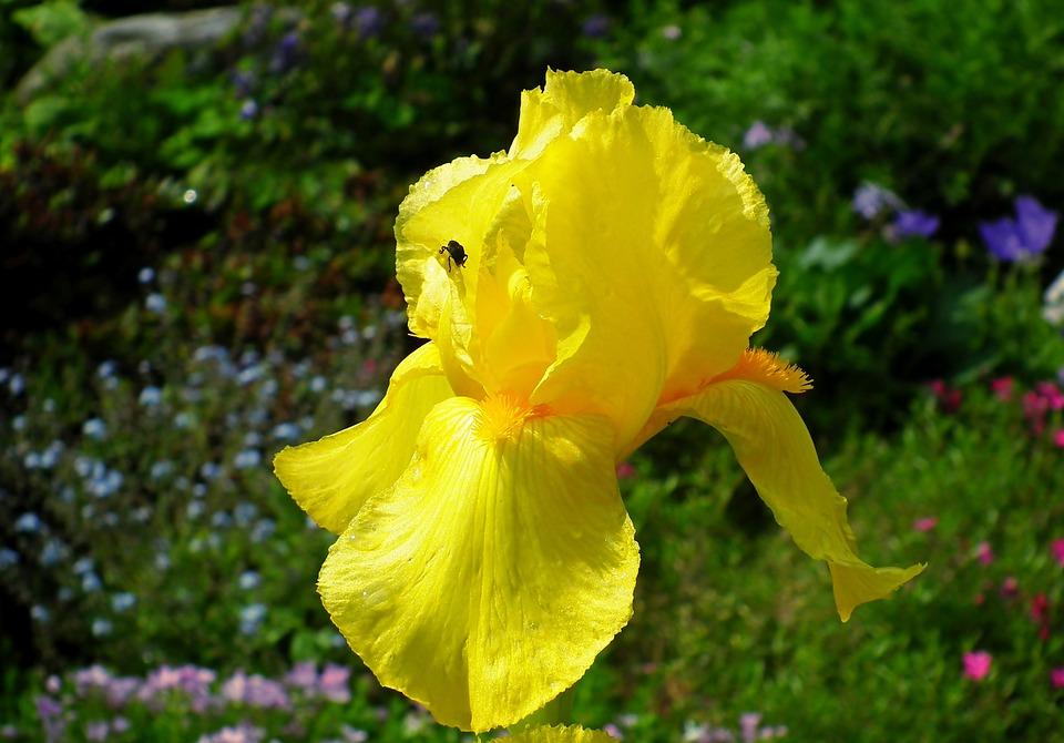 Iris, Flower, Plant, Spring, Garden, Yellow, Nature