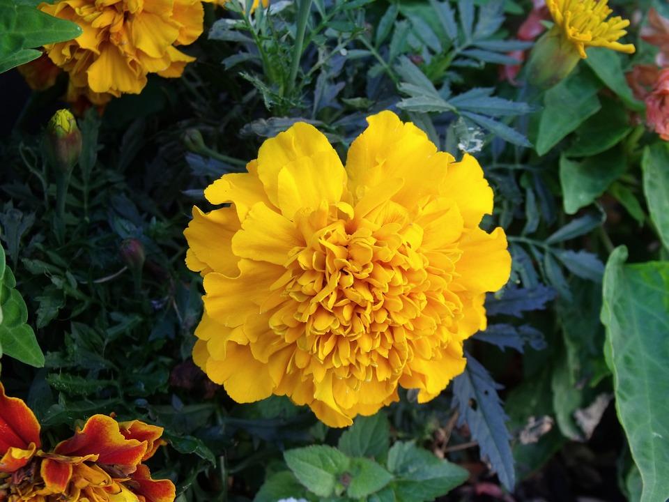 Marigold, Flower, Yellow, Plant, Garden, Nature, Bloom