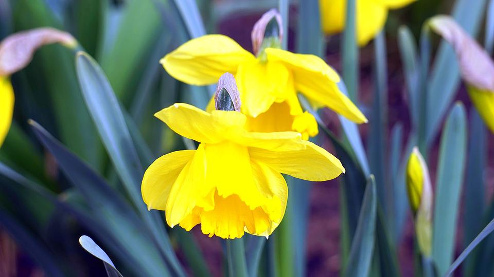 Daffodils, Flower, Plant, Nature, Garden