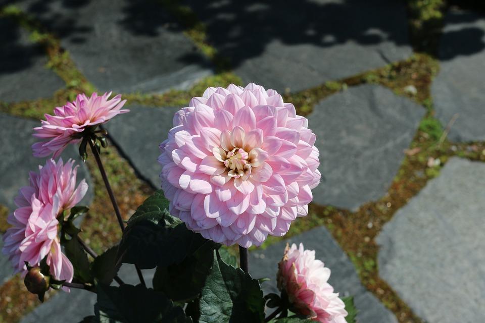 Pink Flower, Garden Plant, Flower, Summer