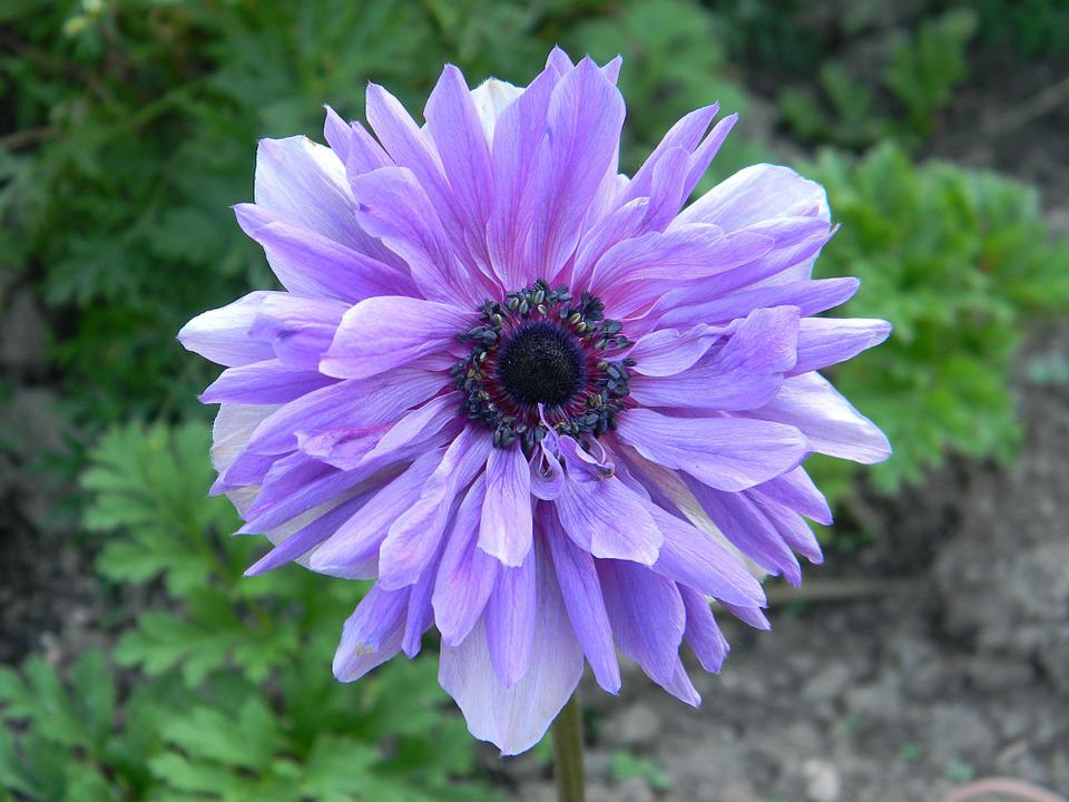 Plant, Garden, Spring, Purple Flower