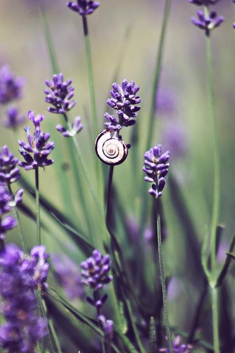 Plant, Garden, Rock Garden, Snail, Lavender, Purple