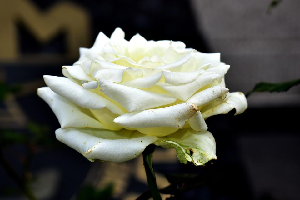 Rosa, Flowers, Garden, Flower, Plant, Flowering
