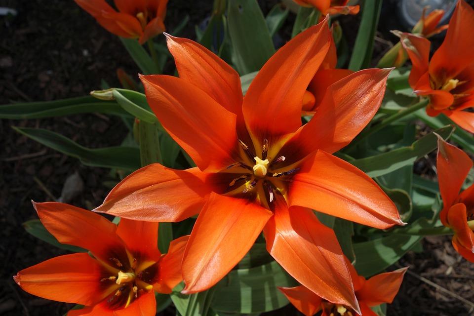 Flower, Plant, Nature, Garden, Summer, Spring, Tulip