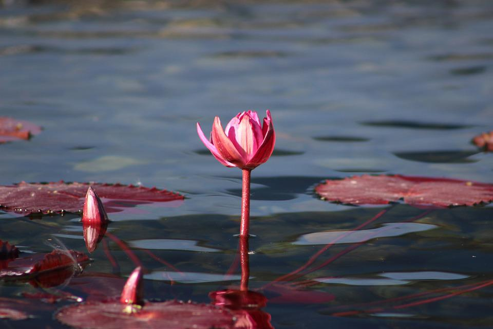 Water Lily, Pink, Flower, Plant, Nature, Garden