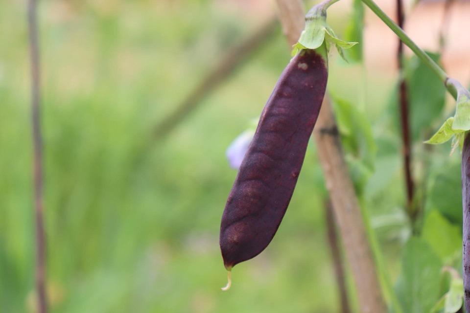 Nature, Garden, Outdoor, Plants, Green Bean, Leafs