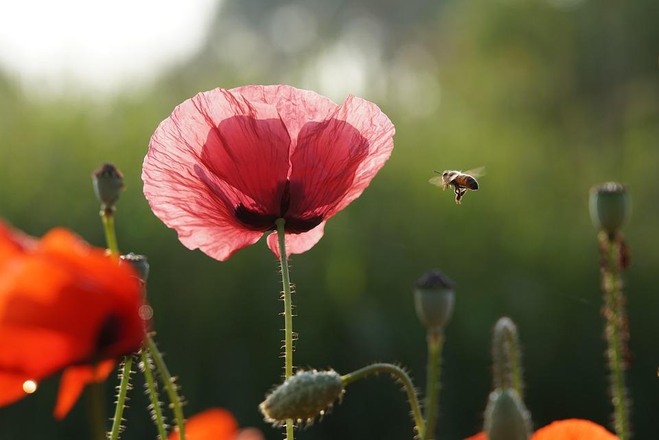 Bee, Flower, Summer, Poppy, Nature, Garden, Plants