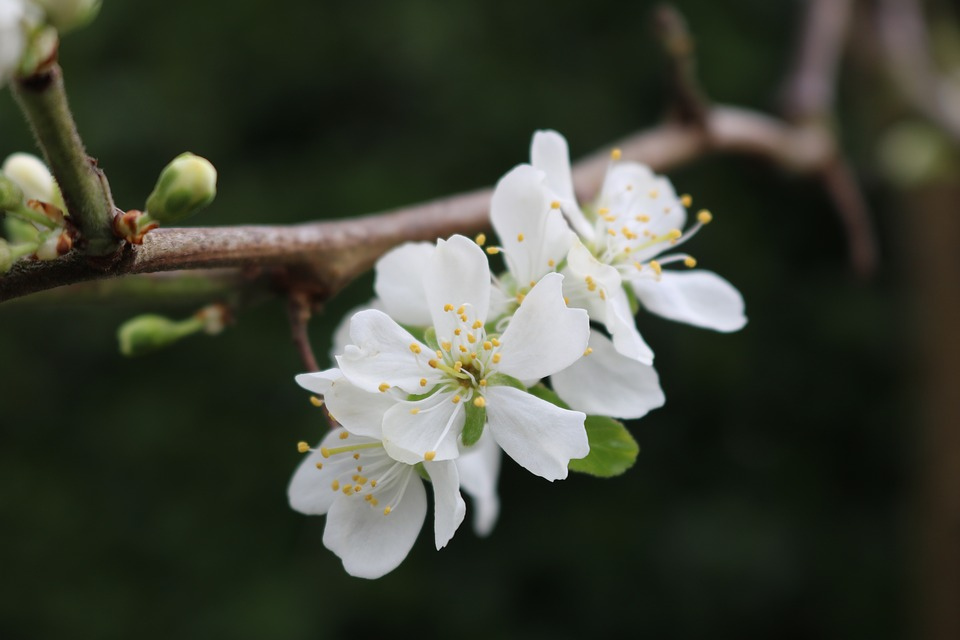 Apple, Blossom, Flowers, White, Branch, Garden, Pollen