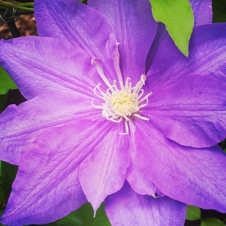 Flower, Dahlia, Purple, Floral, Garden, Blossom, Bloom