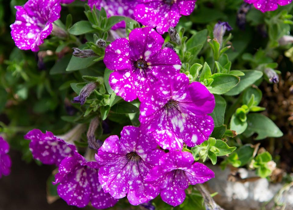 Flower, Purple, Garden