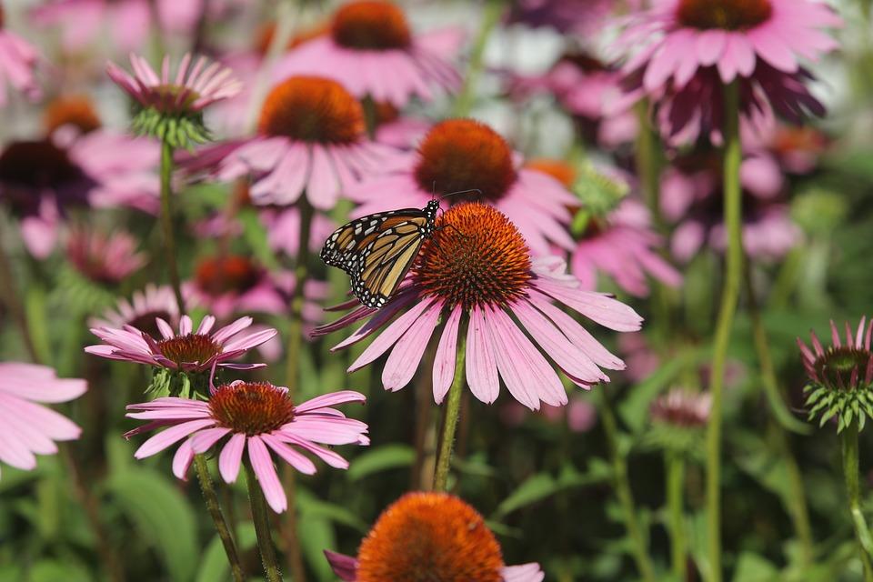 Flowers, Purple Flower, Garden, Butterfly, Monarch