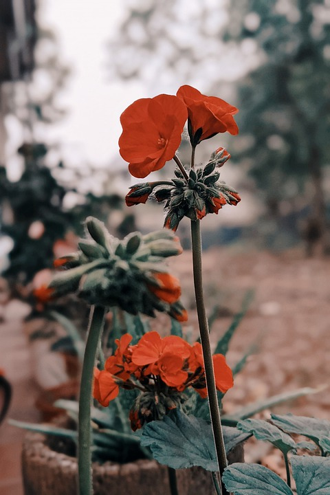 Poppies, Red Flowers, Plants, Nature, Garden