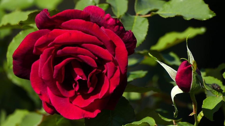 Nature, Garden, Flowers, Rose, Red, Bud, Light, Leaves