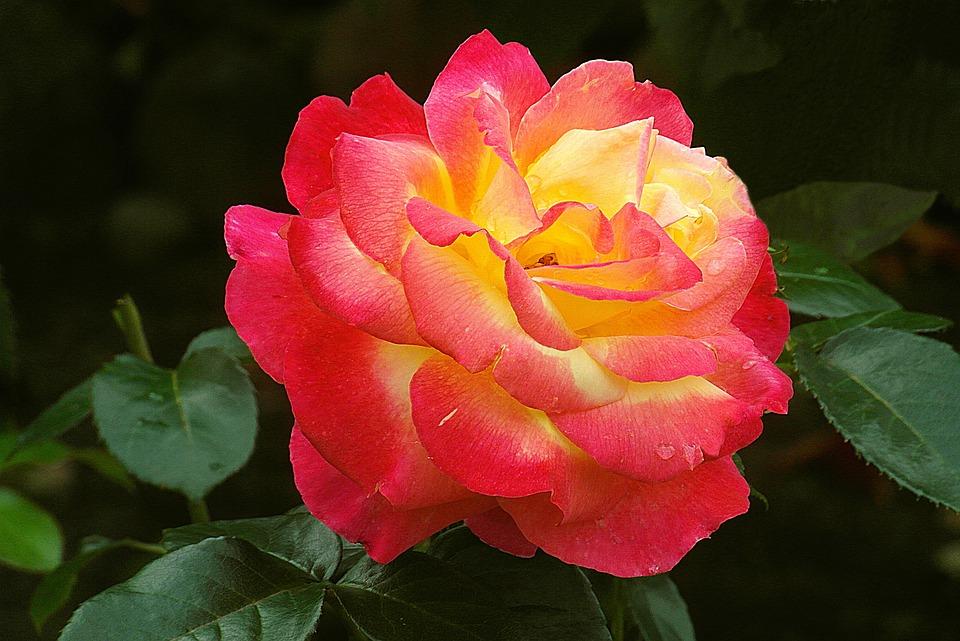 Rose, Flower, Red, Garden, Nature, Summer, Color, Plant