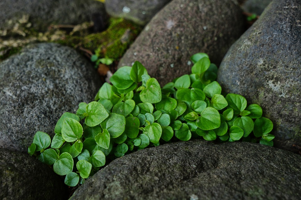 Free photo garden rocks mint nature leaves gardening stones max pixel nature leaves mint rocks stones gardening garden workwithnaturefo