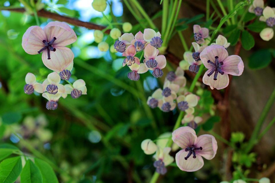 Akebia Quinata, Schijnaugurk, Creeper, Garden, Rose