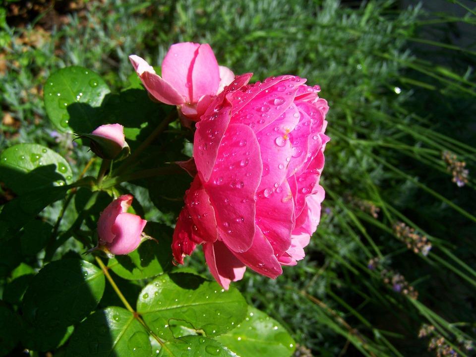 Rose Esőcseppes, Pink, Garden