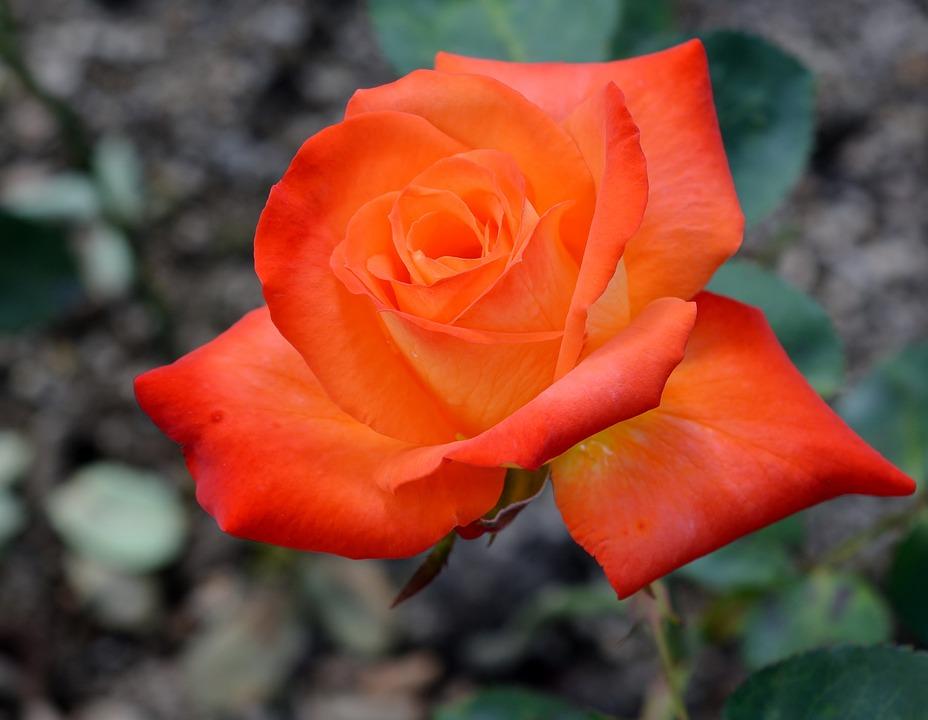 Flower, Rose, Petal, Nature, Plant, Garden