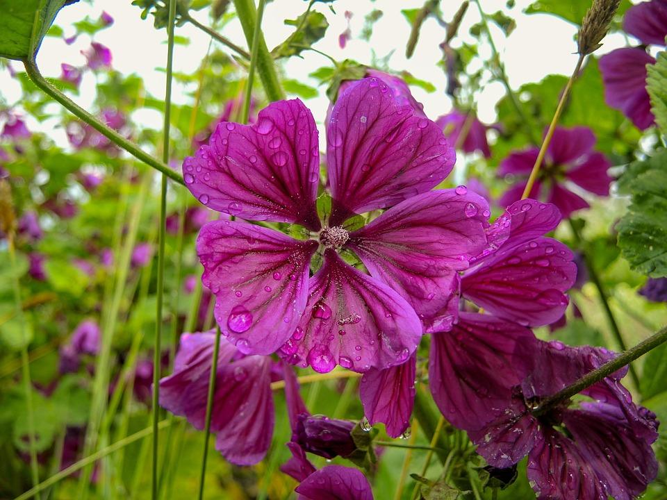 Mallow, Flower, Summer, Nature, Garden, Rose, Close Up