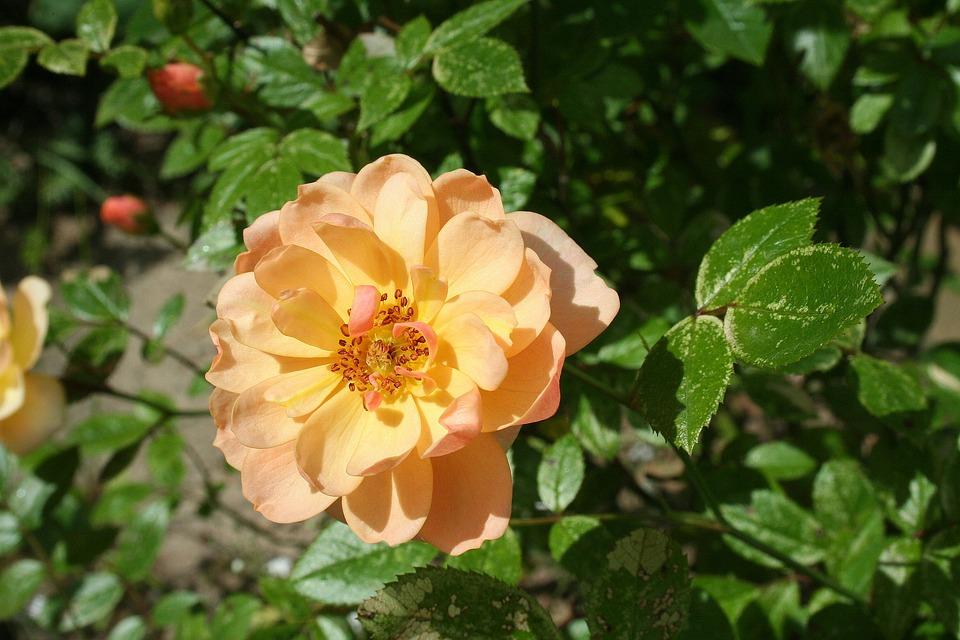Rose, Nature, Garden